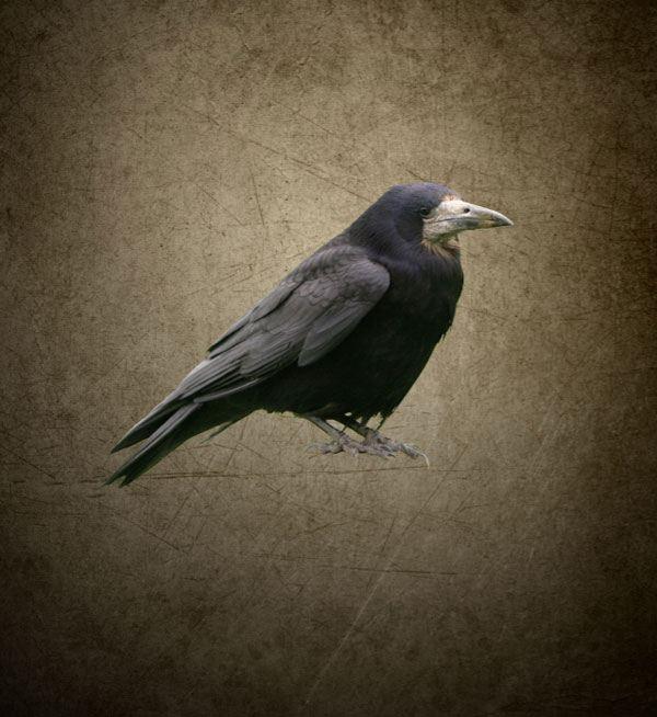 Adding the Raven